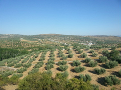 olive_field